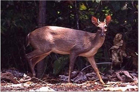 Red Deer - Guyana