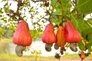 Cashew Fruit and Nut - Brazil