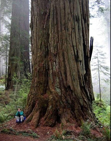 Hyperion - California Redwood Forest - World Tallest Tree