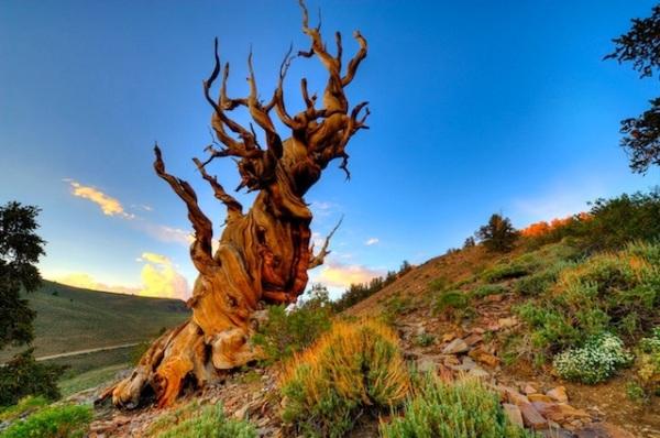 Methuselah - California - Oldest Living Tree in the World