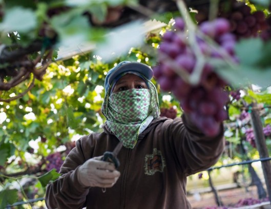 Migrant worker picks grapes in Central Valley, California
